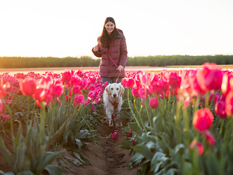 Walking a dog through a flower field wearing Ruffear